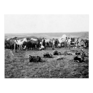 Cowboys Hobbling Horses: 1906 Postcard