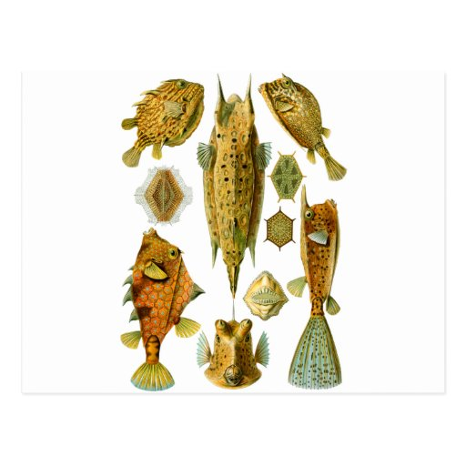 Cowfish or Boxfish Postcard