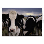 Cows 3 greeting cards