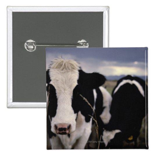 Cows 3 pinback button
