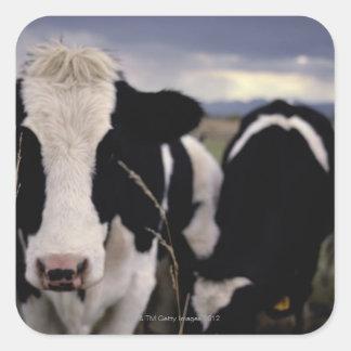 Cows 3 square sticker