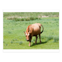 cows and bulls postcard