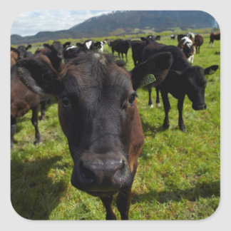 Cows and Mt Somers Square Sticker