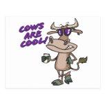 cows are cool funny animal cartoon postcard