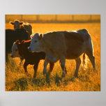 Cows at pasture 2 poster