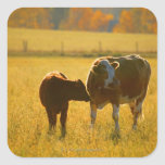 Cows at pasture square sticker