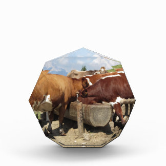 Cows drinking water from a trough award