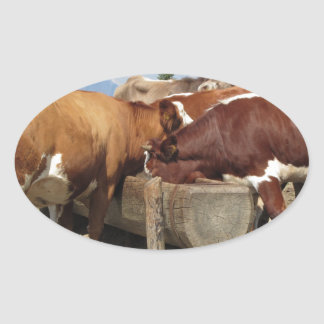 Cows drinking water from a trough oval sticker