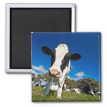 Cows feeding on pasture 2 2 inch square magnet