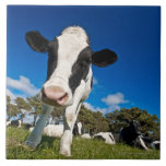 Cows feeding on pasture 2 large square tile