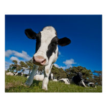 Cows feeding on pasture 2 poster