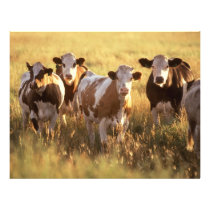 Cows Flyer