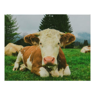 Cows Flyer Design