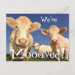 """Cows Funny New Address We've Moved Announcement Postcard (Visit shop for more moving announcements. Type """"moving"""" in the Searchbox)"""