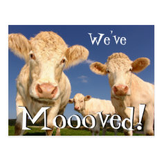 Cows Funny New Address We've Moved Postcard at Zazzle