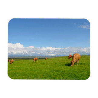 Cows grazing in a meadow, Ireland rectangle magnet