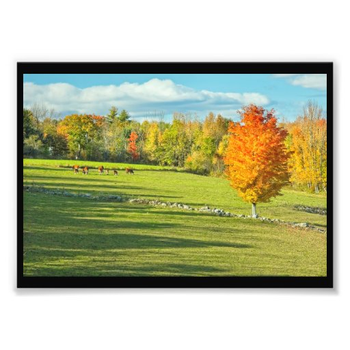 Cows Grazing  In Colorful Fall Farm Field Maine
