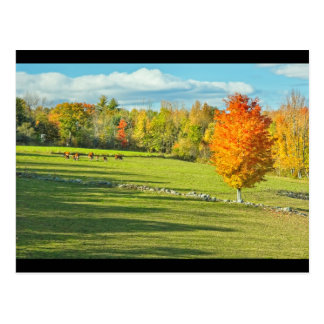 Cows Grazing  In Colorful Fall Farm Field Maine Postcard