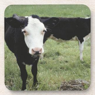 Cows grazing in meadow, Nova Scotia, Canada Beverage Coasters
