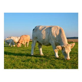 Cows grazing postcard