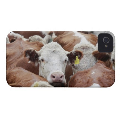 Cows in a corral iPhone 4 case
