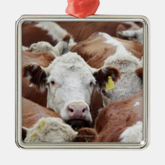 Cows in a corral metal ornament