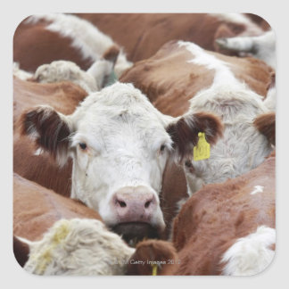 Cows in a corral sticker