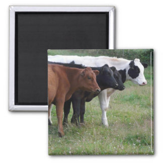 Cows in a Row 2 Inch Square Magnet