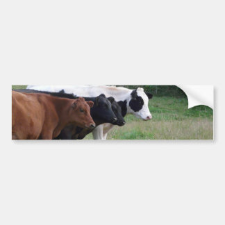 Cows in a Row Bumper Sticker
