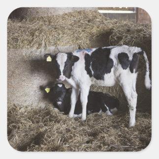 Cows in barn 3 square sticker