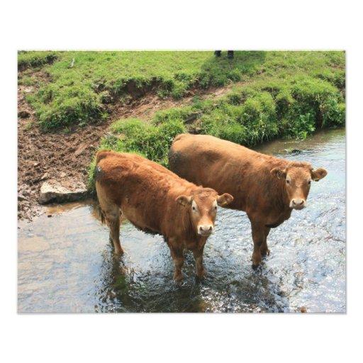 Cows in Devon field, UK Art Photo