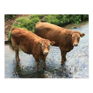 Cows in Devon field, UK Postcard