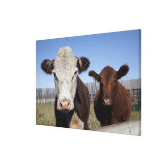 Cows in fenced area canvas print