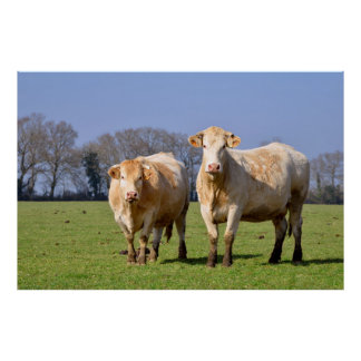 Cows in field poster
