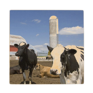 Cows in front of a red barn and silo on a farm 2 maple wood coaster