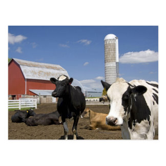 Cows in front of a red barn and silo on a farm 2 postcard