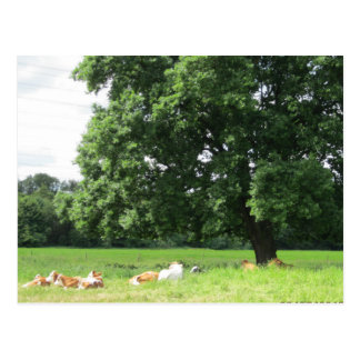 """""""Cows in nature """" Postcard"""