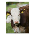 Cows in pasture, close-up greeting cards