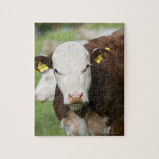 Cows in pasture, close-up jigsaw puzzle