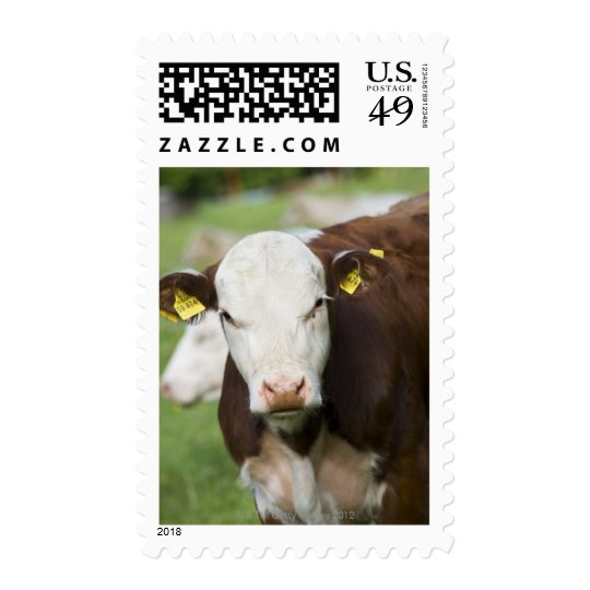 Cows in pasture, close-up postage
