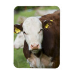 Cows in pasture, close-up vinyl magnets