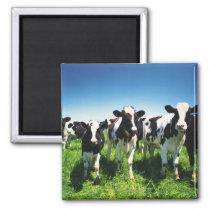 Cows in the field, Betsukai town, Hokkaido Magnet