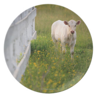Cows in the field dinner plate