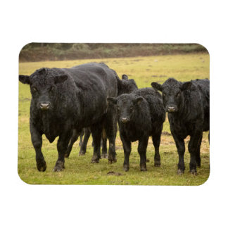 Cows in the rain magnet
