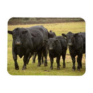 Cows in the rain rectangular photo magnet