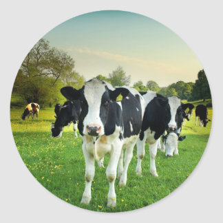 Cows love to stare classic round sticker