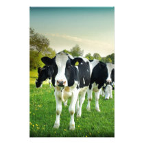 Cows love to stare stationery