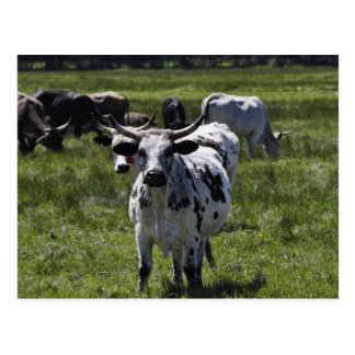 Cows on Big Meadow Postcard