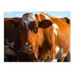 Cows on farm postcard