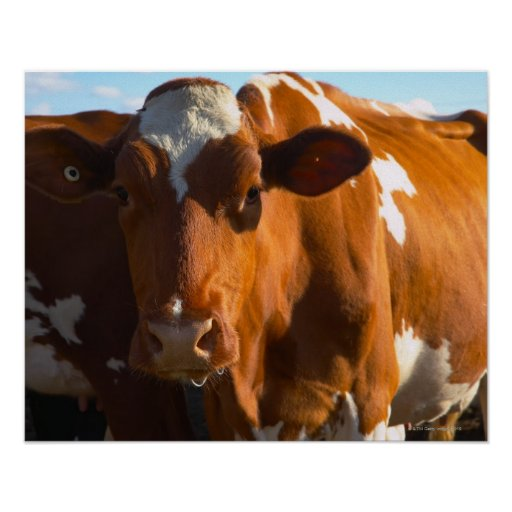 Cows on farm poster